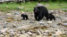 wildlife black bear