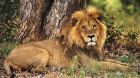 wildlife safari lion