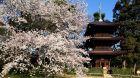 Garden Spring Sakura