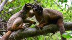 Lemurs in a tree