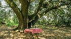Countryside aperitif at ancient oak